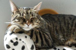 Katze, schlafend